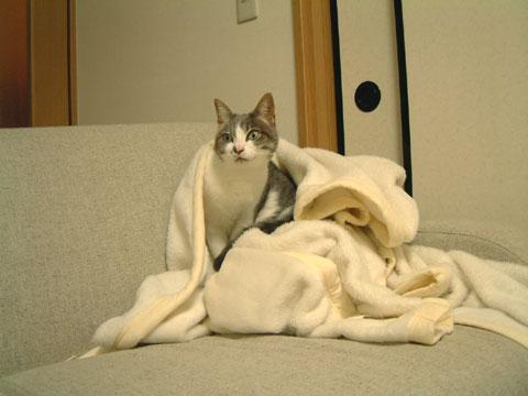 白毛布に包まるハナ