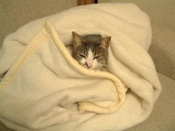 白毛布の中心から顔だけ出てるハナ