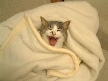 白毛布の中心で大あくびするハナ