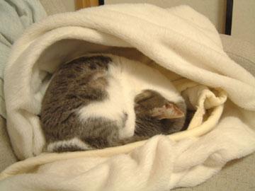 かまくら風に空洞になった白毛布の中で眠るハナ