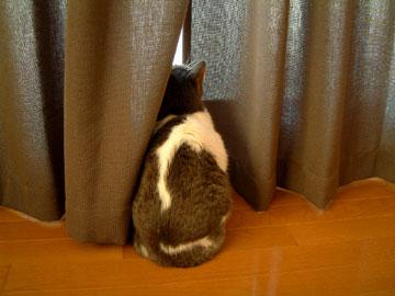 カーテンの隙間から外をみるハナ