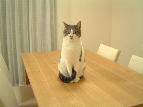 テーブルの上でしっぽを前足の間にはさむハナ