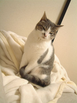白毛布の上でしっぽを前足の間にはさむハナ
