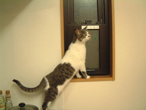 キッチン台を足場にして小窓に乗り移ろうとするハナ
