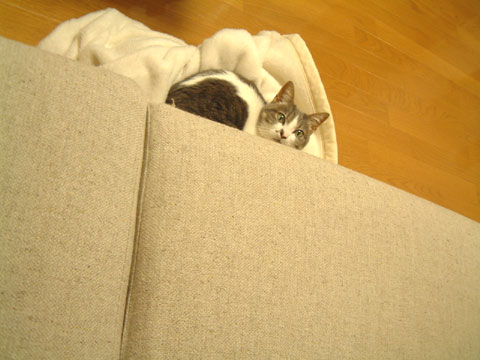 ソファの近くに落ちた白毛布の上でくつろぐハナ