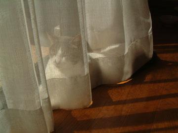 レースカーテンの中で日向ぼっこするハナ