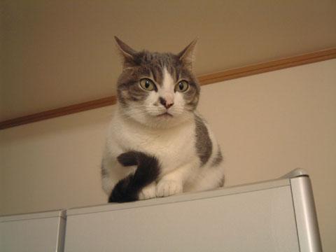 冷蔵庫の上で前足をそろえて座るハナ