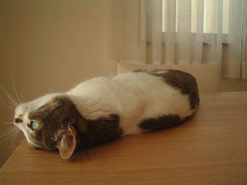 テーブルの上に寝転がり上を向くハナ