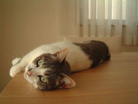 テーブルの上に寝転がりこっちをみるハナ