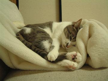 白毛布の上に横になるハナを前から