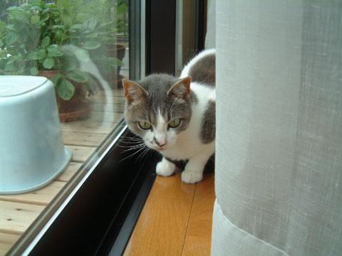 カーテンの間に入り込みこっちをみるハナ